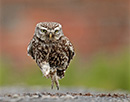 Austin Thomas - Little Owl Running